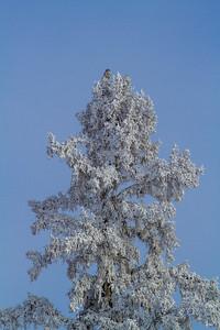 Northern Hawk Owl in frosty spruce Overton Road and Arkola-CR52 Sax-Zim Bog MN  IMG_0068