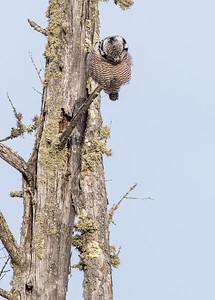 Northern Hawk Owl McDavitt Road Sax-Zim Bog MNSNY03946