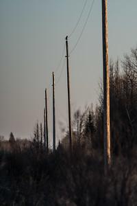 Northern Hawk Owl Zim Road Yoki Road Sax-Zim Bog MN DSC03080