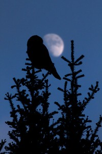 Northern Hawk Owl Kelly J's Jean Duluth Rd Duluth MN IMG_4206