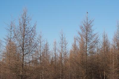 Northern Hawk Owl Zim Road Yoki Road Sax-Zim Bog MN-03018