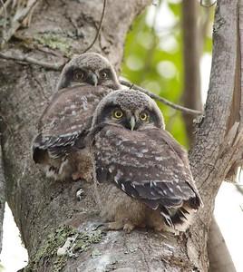 Northern Hawk Owl baby juvenile Owl Ave Sax-Zim Bog MN Northern Hawk Owl two babies juveniles Owl Avenue Sax-Zim Bog MN IMG_1283
