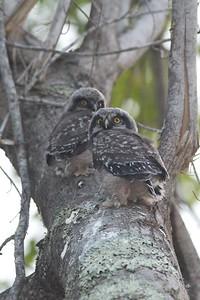 Northern Hawk Owl baby juvenile Owl Ave Sax-Zim Bog MN IMG_1268