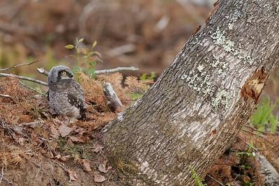 Northern Hawk Owl baby juvenile Owl Ave Sax-Zim Bog MN Northern Hawk Owl baby juvenile Owl Avenue Sax-Zim Bog MN IMG_1257