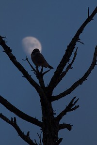 Northern Hawk Owl Kelly J's Jean Duluth Rd Duluth MN IMG_4190