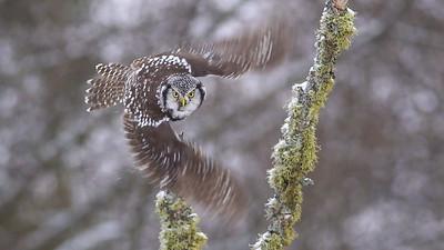 Northern Hawk Owl takeoff flight single frame extracted from video McDavitt Road Sax-Zim Bog MNC0081-1