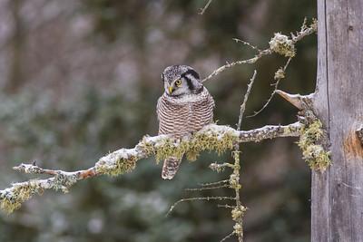Northern Hawk Owl McDavitt Road Sax-Zim Bog MNSNY04108