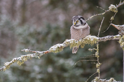 Northern Hawk Owl McDavitt Road Sax-Zim Bog MNSNY04114