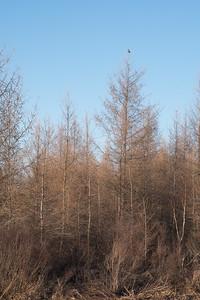 Northern Hawk Owl Zim Road Yoki Road Sax-Zim Bog MN-03022