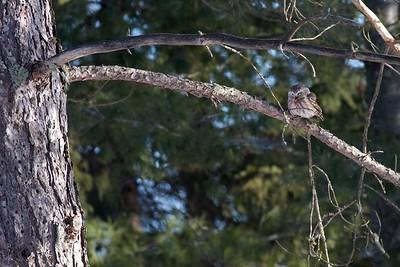 Northern Saw-whet Owl McDavitt Rd farm Sax-Zim Bog MN IMG_3578