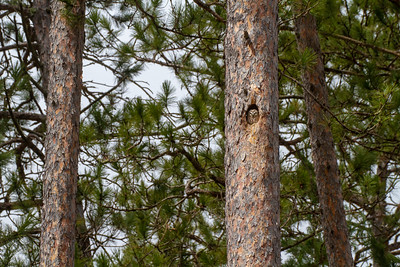 Northern Saw-whet Owl nest cavity in Red Pine Echo Trail near Ely St  Louis County MN -5763