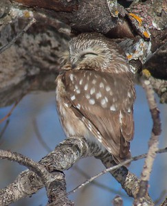 Northern Saw-whet Owl Matt Moses yard Solway Twp St  Louis Co MN IMG_4278