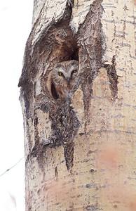 Northern Saw-whet Owl near Burntside Lake Ely MN IMG_7253