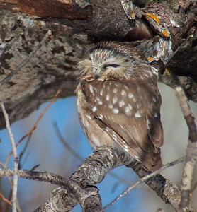 Northern Saw-whet Owl Matt Moses yard Solway Twp St  Louis Co MN IMG_4290