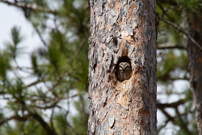 Northern Saw-whet Owl nest cavity in Red Pine Echo Trail near Ely St  Louis County MN -5747