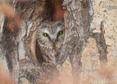 Northern Saw-whet Owl near Burntside Lake Ely MN IMG_7209