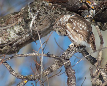 Northern Saw-whet Owl Matt Moses yard Solway Twp St  Louis Co MN IMG_4291