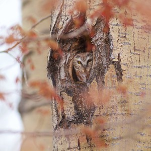 Northern Saw-whet Owl near Burntside Lake Ely MN IMG_7214