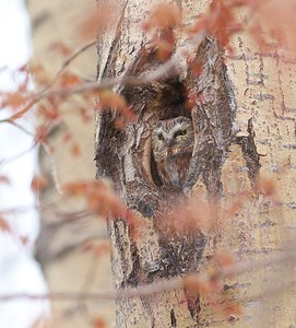 Northern Saw-whet Owl near Burntside Lake Ely MN IMG_7241