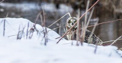 Short-eared Owl Stone Lake Road Sax-Zim Bog MN IMG_0477