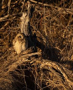Short-eared Owl Stone Lake Road Sax-Zim Bog MN IMGC3845