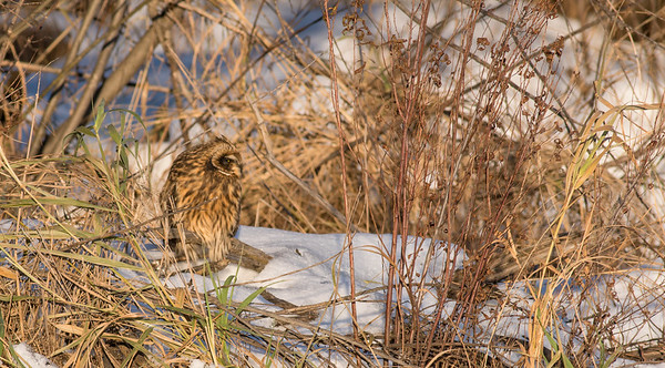 Short-eared Owl Stone Lake Road Sax-Zim Bog MNDSC03894