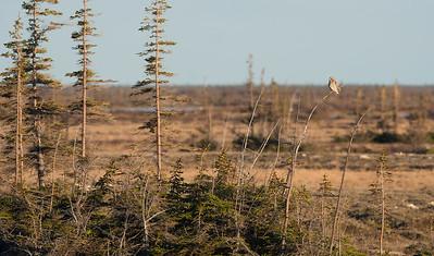 Short-eared Owl Launch Road Churchill Manitoba Canada DSC00753