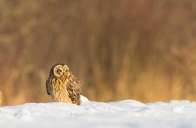 Short-eared Owl Stone Lake Road Sax-Zim Bog MN IMG_0389