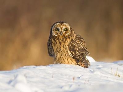 Short-eared Owl Stone Lake Road Sax-Zim Bog MN IMG_0397
