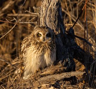 Short-eared Owl Stone Lake Road Sax-Zim Bog MN IMGC3823