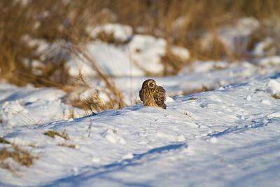 Short-eared Owl Stone Lake Road Sax-Zim Bog MN IMG_0381
