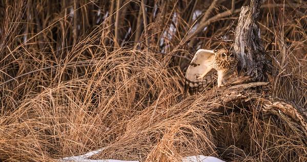 Short-eared Owl Stone Lake Road Sax-Zim Bog MN IMGZ4073