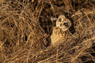 Short-eared Owl Stone Lake Road Sax-Zim Bog MN IMGC3810