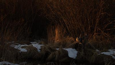 Short-eared Owl Stone Lake Road Sax-Zim Bog MN IMGC3988