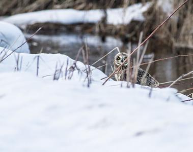 Short-eared Owl Stone Lake Road Sax-Zim Bog MNIMG_0477