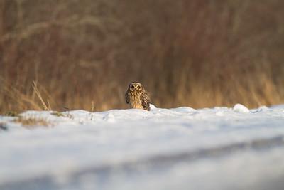 Short-eared Owl Stone Lake Road Sax-Zim Bog MN IMG_0388