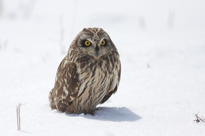 Short-eared Owls have small tufts of feathers on top of their heads from which they get their name. They usually hunt at dusk in open country [March; Southeast North Dakota]