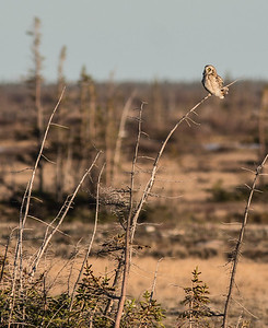 Short-eared Owl Launch Road Churchill Manitoba Canada DSC00750