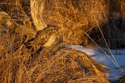 Short-eared Owl Stone Lake Road Sax-Zim Bog MN IMGC3964