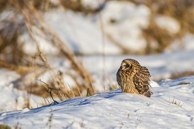 Short-eared Owl Stone Lake Road Sax-Zim Bog MN IMG_0378