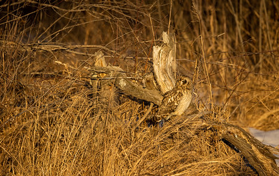 Short-eared Owl Stone Lake Road Sax-Zim Bog MN IMGC3886