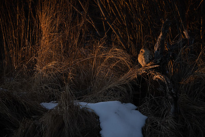 Short-eared Owl Stone Lake Road Sax-Zim Bog MN IMGC3987