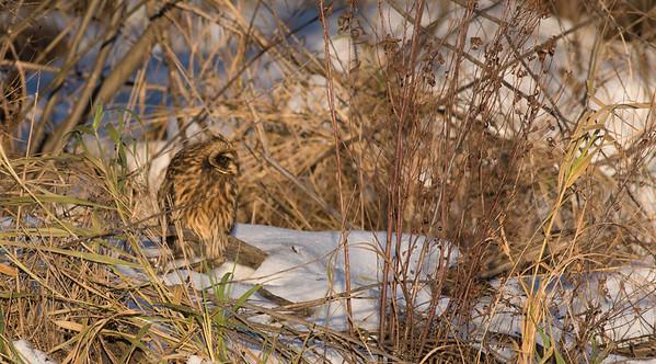 Short-eared Owl Stone Lake Road Sax-Zim Bog MN DSC03894
