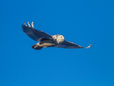 Snowy Owl along CR105 South Superior WIIMG_5497