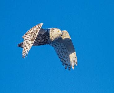 Snowy Owl along CR105 South Superior WIIMG_5498