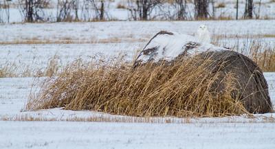 Snowy Owl on haybale along CR229-29 and Watsula Road Sax-Zim Bog MNIMG_3526