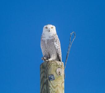 Snowy Owl US75 near Kennedy MN Kittson County MNIMG_0290