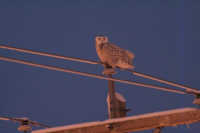 Snowy Owl near the Duluth airport [December; Airport, Duluth, Minnesota]