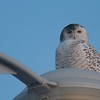 Urban and industrial areas serve the Snowy Owl well. Here they can find rats, pigeons, rabbits, pheasants and other urban prey [February; Superior Middle School, Superior, Wisconsin]