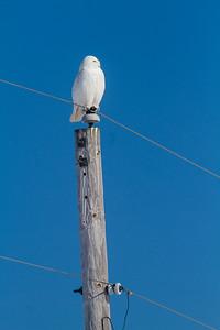Snowy Owl mature male CR226 near Hwy 29 SW of Meadowlands MN Sax-Zim Bog MN -1694